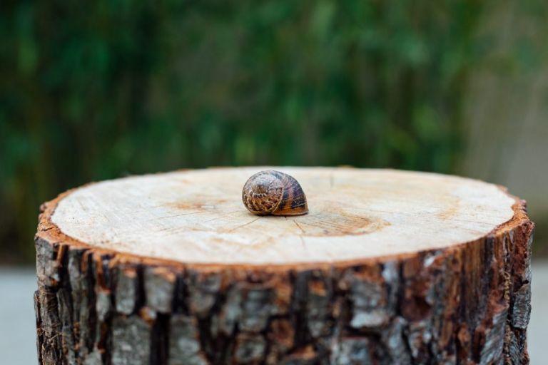 Coquille d'escargot sur un tronc d'arbre